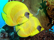 Butterfly Fish Great Barrier Reef