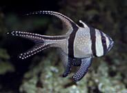 Cardinalfish Great Barrier Reef