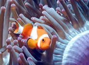 Clown Fish Great Barrier Reef