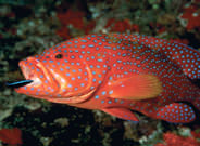 Coral Trout Great Barrier Reef