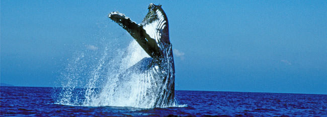 Great Barrier Reef Whales