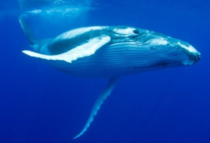 Great Barrier Reef Humpback Whales