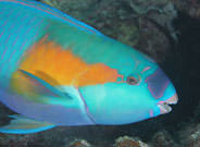 Parrot Fish Great Barrier Reef