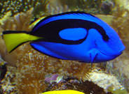 Surgeonfish Great Barrier Reef