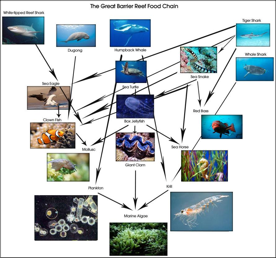 Great Barrier Reef Food Web Food Chain Diagram Greatbarrierreef