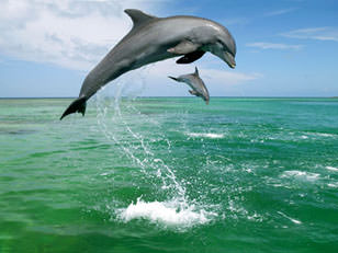 Great Barrier Reef Bottlenose Dolphins